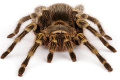 Chaco Golden Knee Tarantula. (Grammostola aureostrista). A large somewhat docile  tarantula that will flick hairs if threatened Stock Photos