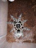 Chaco Golden Knee Tarantula royalty free stock photo