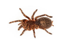 Chaco Golden Knee Tarantula Overhead Stock Images