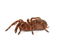 Chaco Golden Knee Tarantula Side View Royalty Free Stock Photos