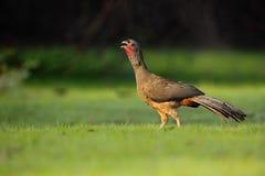 Chaco-Hokkos, Ortalis canicollis, Vogel mit der offenen Rechnung, gehend in das grüne Gras, Pantanal, Brasilien Stockbild