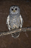 Chaco Owl Royalty Free Stock Photography