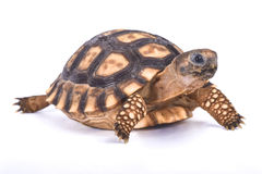 Chaco tortoise, Chelonoidis chilensis. The Chaco tortoise, Chelonoidis chilensis, is a medium sized tortoise species found in the Chaco region, South America Royalty Free Stock Images