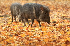 Chacoan野猪 免版税图库摄影