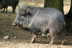Chacoan peccary Stock Photo