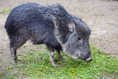 Chacoan peccary, Catagonus Wagner, gnawing grass Royalty Free Stock Image