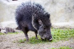 Chacoan peccary, Catagonus Wagner, gnawing grass Stock Image