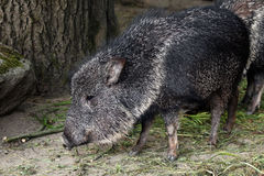 Chacoan peccary (Catagonus wagneri), also known as the tagua. Stock Photography