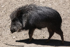 Chacoan peccary (Catagonus wagneri), also known as the tagua. Royalty Free Stock Image