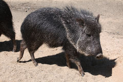 Chacoan peccary (Catagonus wagneri), also known as the tagua. Stock Images