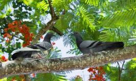 Chacun des deux pigeons étés perché sur des branches Photographie stock libre de droits