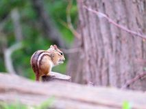 Chad The Chipmunk. A hungry chipmunk doing his best to ignore me Stock Photography