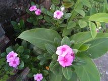 Chadni-Blume Stockbilder