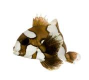 chae klauna plectorhynchus arlekińscy sweetlips Fotografia Royalty Free