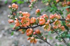 Chaenomele s japonica blossom. Bush quince blossom in the garden Stock Photo