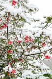 Chaenomeles και χιόνι Στοκ Εικόνες