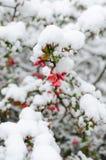 Chaenomeles και χιόνι Στοκ Φωτογραφία