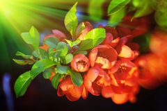 chaenomeles λουλούδια Στοκ Φωτογραφίες