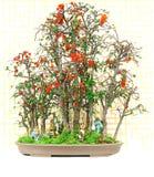 Chaenomeles cathayensis bonsai roślina zdjęcie royalty free