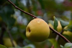 Chaenomeles de coing - fruits sur le buisson après pluie image libre de droits