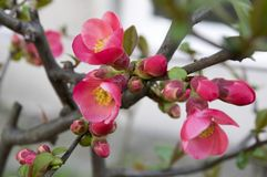 Chaenomeles deciduous shrub in pink bloom. Spring time ornamental shrub Royalty Free Stock Photography