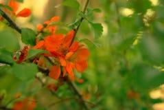 Chaenomeles di fioritura arancio rossi dell'arbusto Immagini Stock