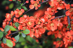 chaenomeles do arbusto Foto de Stock