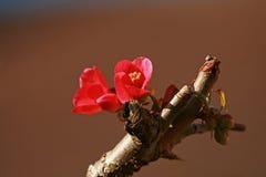 Chaenomeles flower Royalty Free Stock Photos
