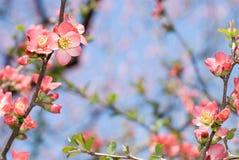 Chaenomeles flower Stock Images