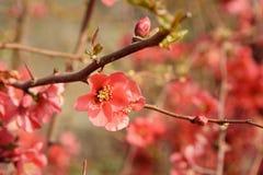 Chaenomeles flower in spring. Red Chaenomeles flower branch in the garden in spring stock image
