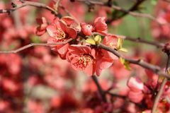 Chaenomeles flower in spring. Red Chaenomeles flower branch in the garden in spring royalty free stock photos