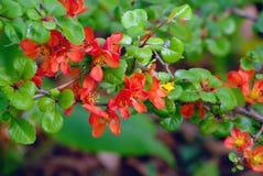 Chaenomeles  a flowering garden shrub. The bright red flowers of the Chaenomeles flowering in the UK in April stock images