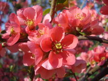 Chaenomeles (flowering quince). Is a Japanese shrub which blossoms in spring Royalty Free Stock Images