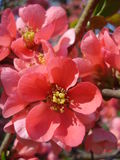 Chaenomeles (flowering quince) Stock Photography