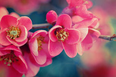 Chaenomeles flowers Stock Photography