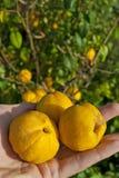 Chaenomeles fruit Stock Photography