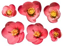 Chaenomeles is red blossoms in the spring. Genus of three species of deciduous spiny shrubs