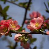 Chaenomeles Japanese blossoms. In early spring Stock Photography