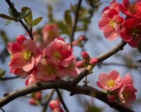 Chaenomeles Japanese blossoms. In early spring Royalty Free Stock Image
