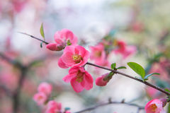 Chaenomeles. Japanese quince. Spring pink flowers background. Royalty Free Stock Photos