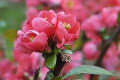 Chaenomeles. Japanese quince. Spring pink flowers background. Royalty Free Stock Photography