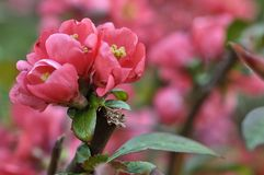 Chaenomeles. Japanese quince. Spring pink flowers background. Stock Photography