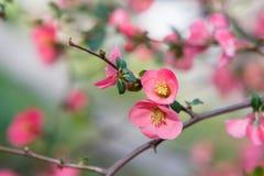 Chaenomeles japansk quince Vårrosa färgen blommar bakgrund Arkivfoto