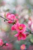 Chaenomeles japansk quince Vårrosa färgen blommar bakgrund Royaltyfri Foto