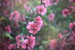 Chaenomeles Japonica Fotografie Stock