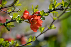 Chaenomeles Japonica. A beautiful day of spring royalty free stock photography