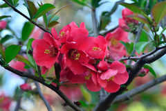 Chaenomeles japonica Stock Images