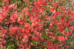 Chaenomeles japonica. Blossoming Chaenomeles (flowering quince, Japanese quince), a genus of spiny shrubs, native to eastern Asia in Japan, China and Korea Stock Photo