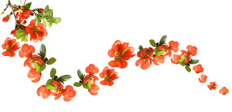 Chaenomeles japonica chaenomeles flowers stock photo