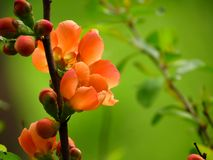 Chaenomeles japonica Stock Photos